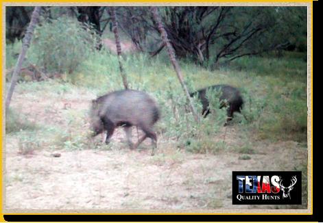 Texas Quality Hunts Javelinas Feeder
