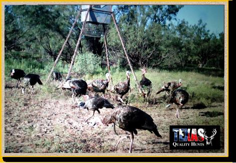 Texas Quality Hunts Turkeys Feeder